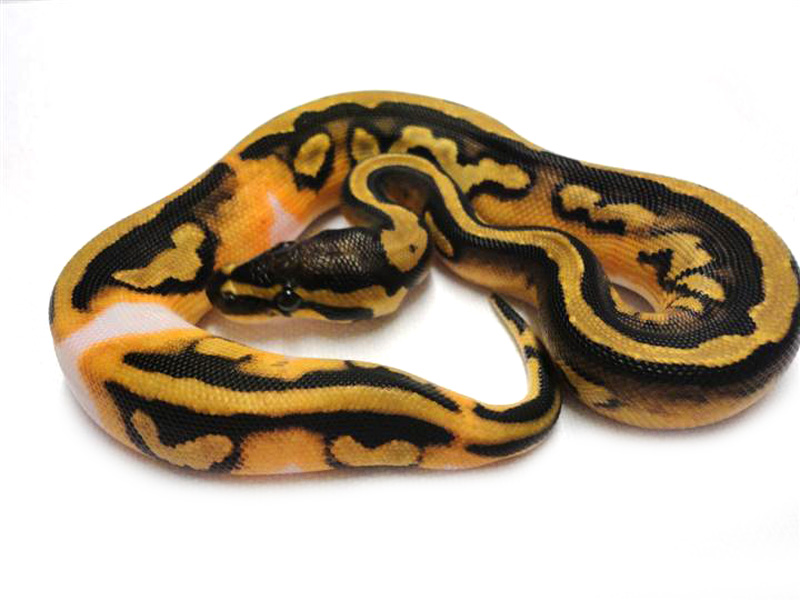 Orange Dream Pied