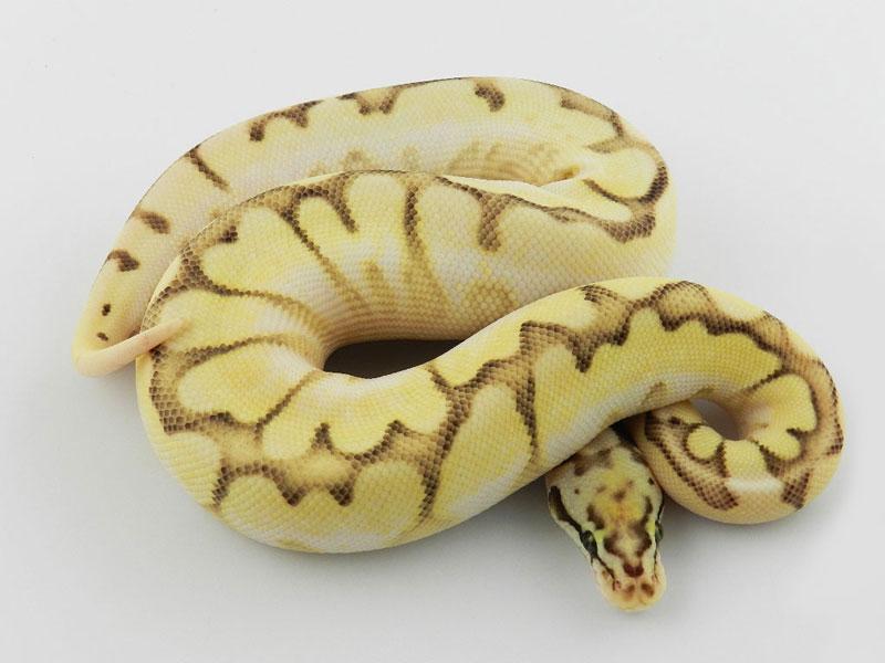 Orange Dream Queen Bee Morph List World Of Ball Pythons