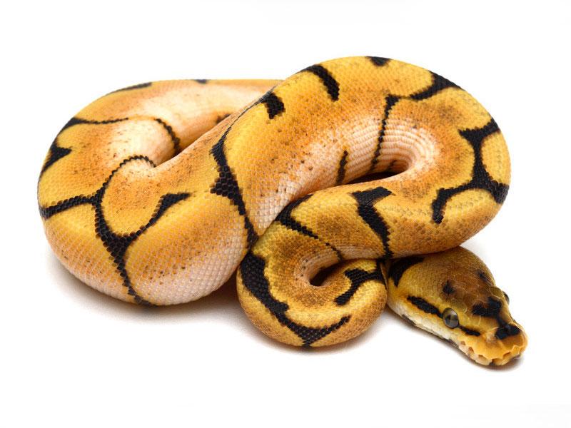 Orange Dream Spider Morph List World Of Ball Pythons