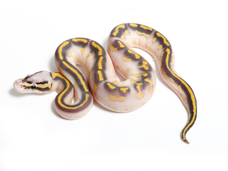 Pastave Highway Morph List World Of Ball Pythons