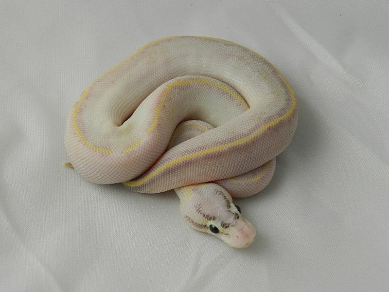 Pastel Ivory Orange Dream