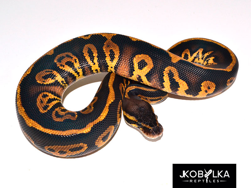 Pastel Leopard Black Head - Morph List - World of Ball Pythons