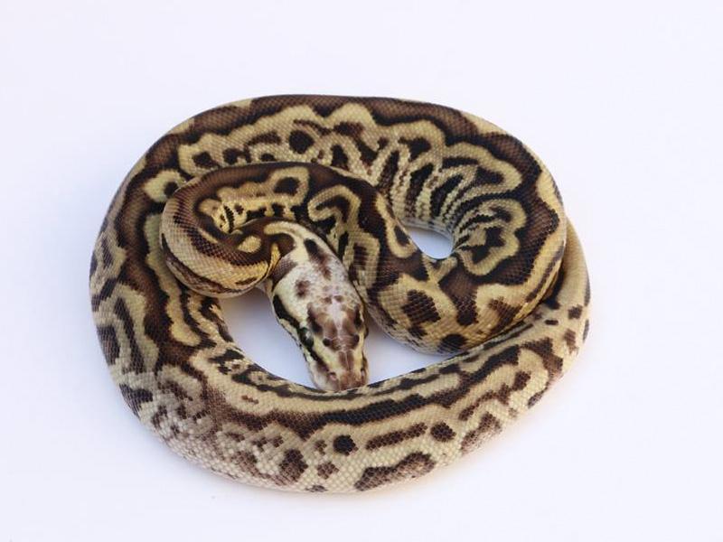 Pastel Leopard Spotnose