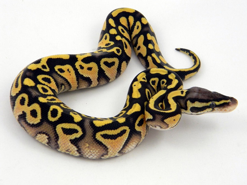 Pastel Mocha Yellow Belly