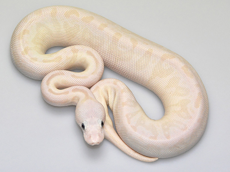 Pastel Russo Het Leucistic Special Morph List World Of