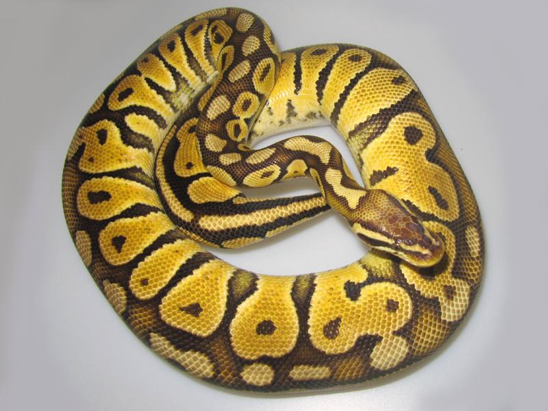 Pastel ball python - photo#16