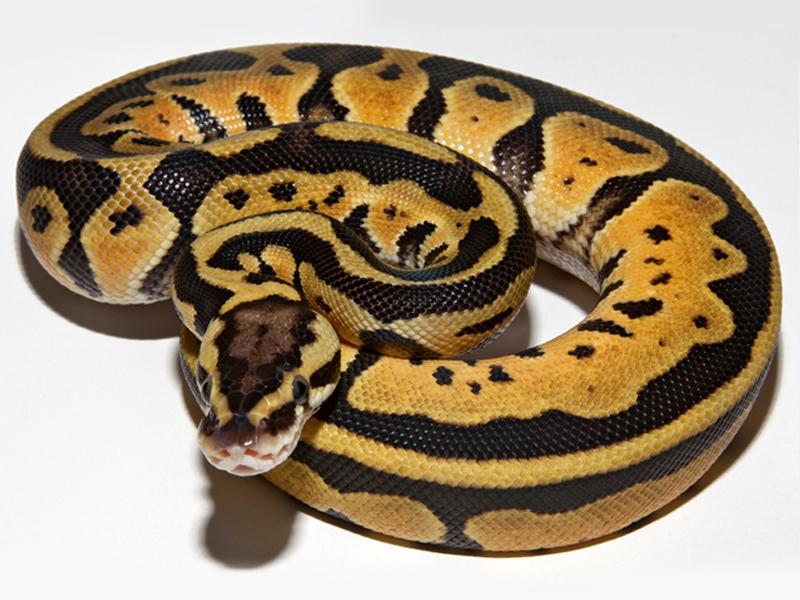 Pastel ball python - photo#22