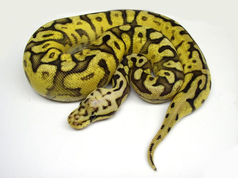 Pastel Spider Yellow Belly Chocolate (Garcia line)