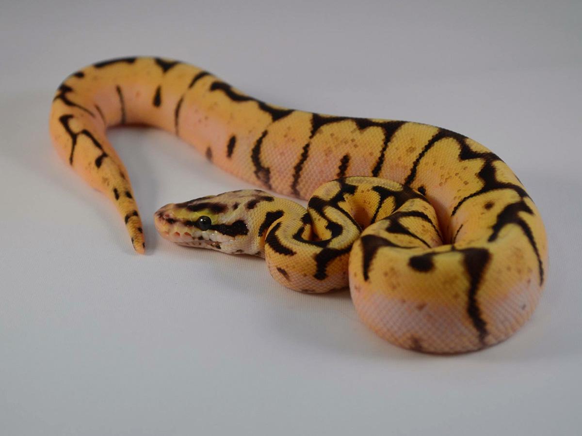 Pastel Spider Morph List World Of Ball Pythons