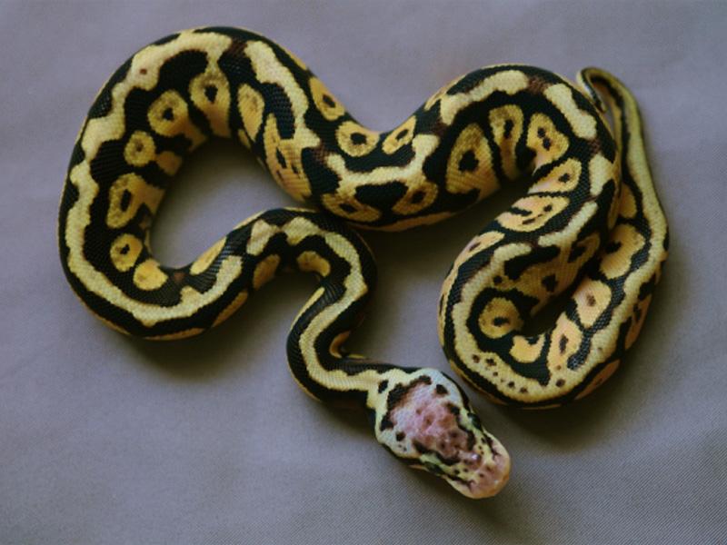 Pastel Spotnose