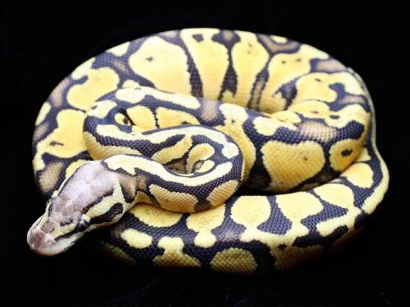 Pastel ball python - photo#14