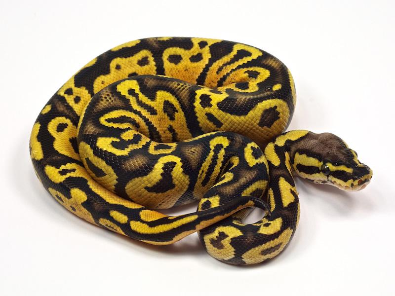 Pastel ball python - photo#18
