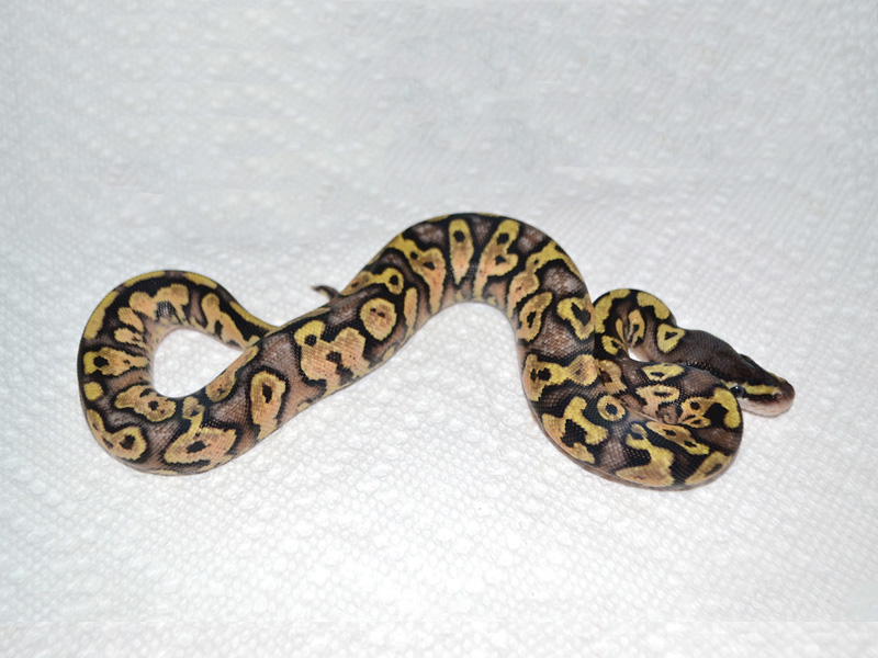 Pastel Yellow Belly Jungle Woma