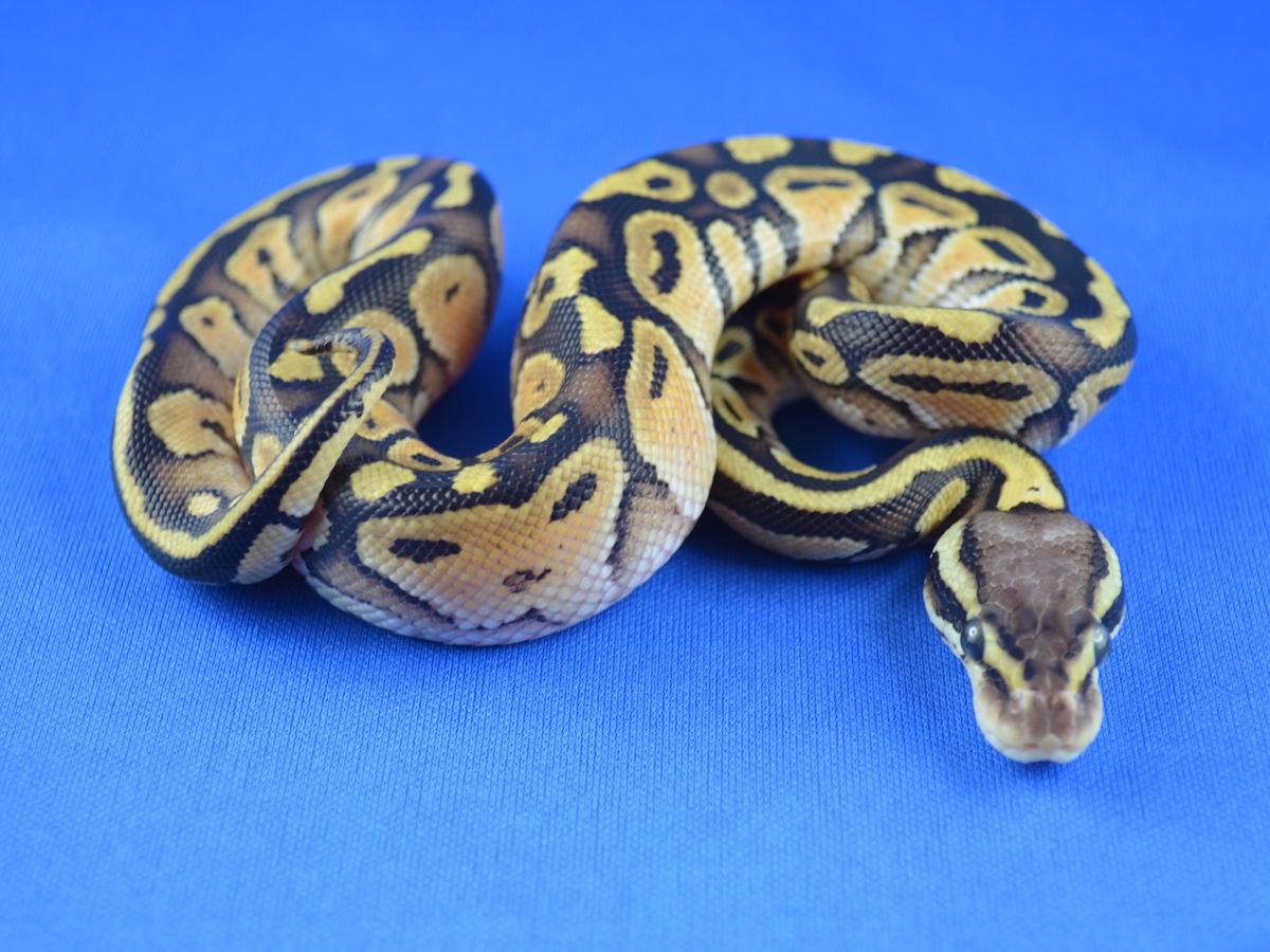 Pastel Yellow Belly Russo Het Leucistic