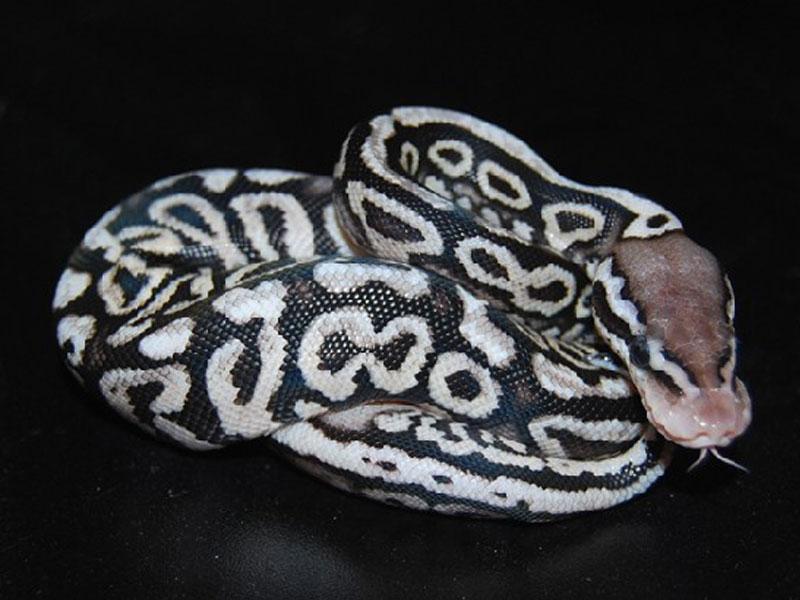 Black Pewter Ball Python Pewter spotnose