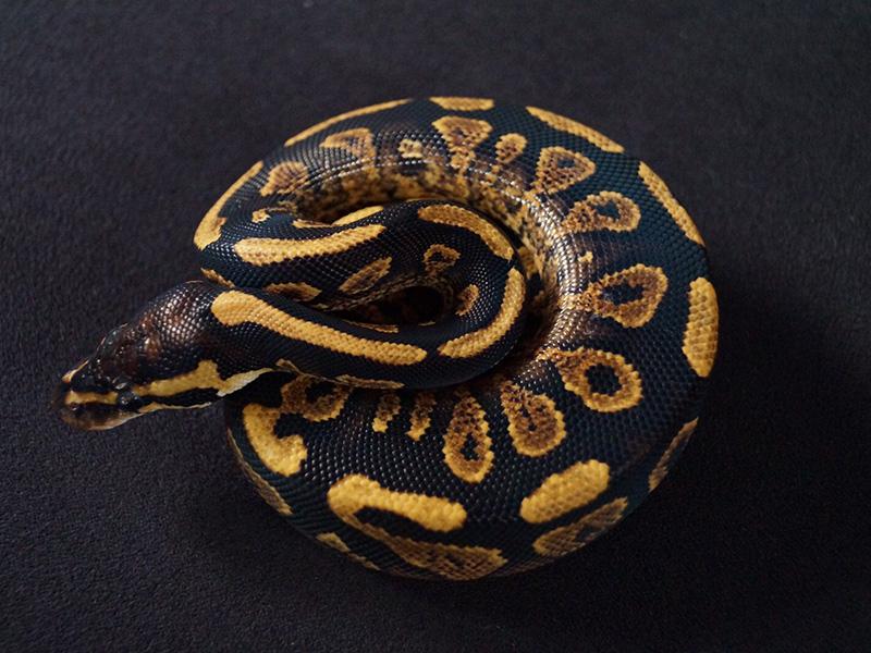 Phantom Trick Yellow Belly