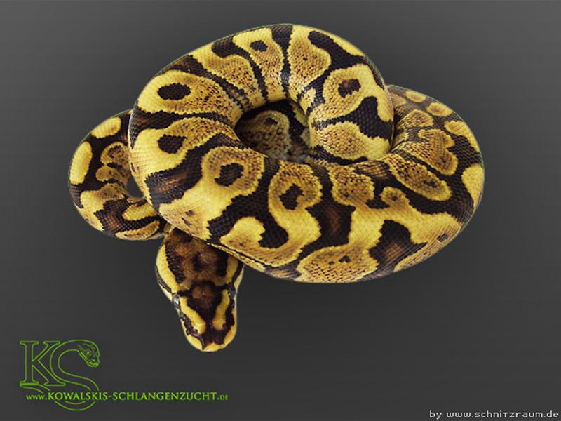 Phantom Woma Yellow Belly