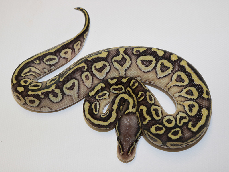 Picasso Pastel Yellow Belly