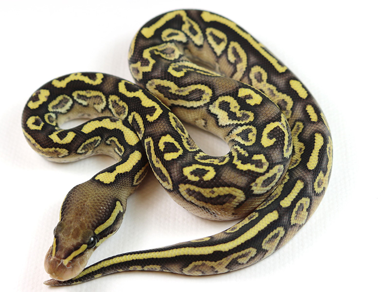 Picasso Yellow Belly