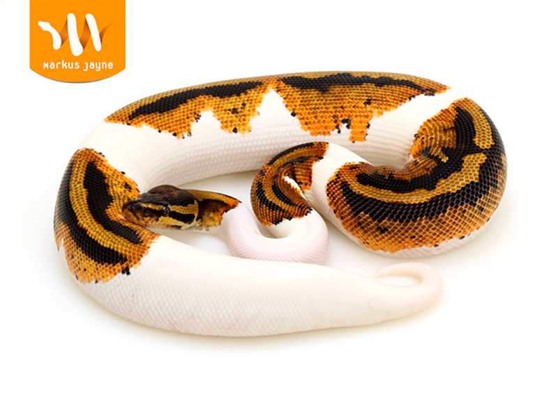 Pied Yellow Belly