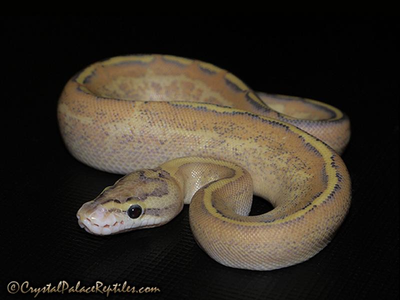 Puma - Morph List - World of Ball Pythons