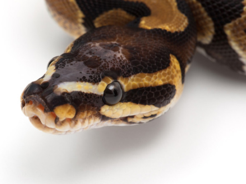 Scaleless Head