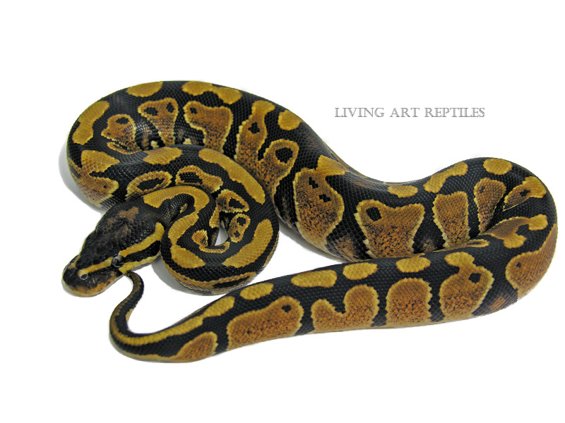 Sienna Yellow Belly