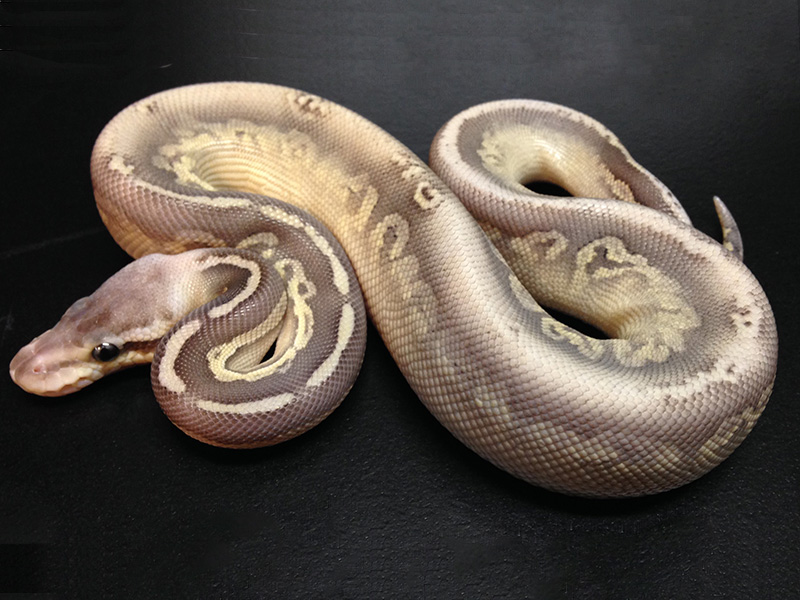 silver streak morph list world of ball pythons holidays oo