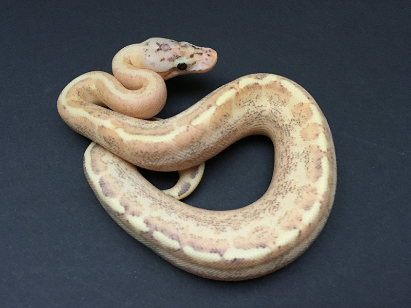 Spark Spotnose Yellow Belly