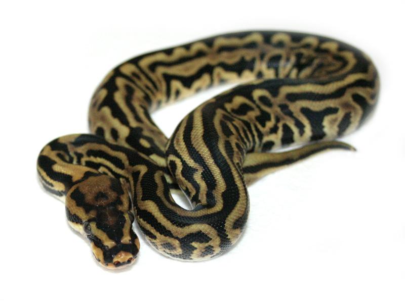 Spotnose Leopard