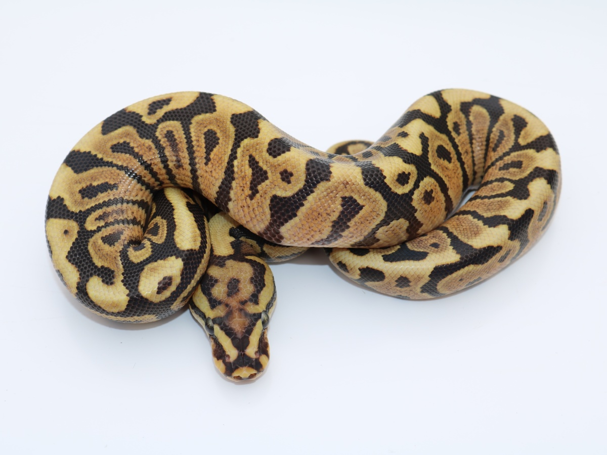 Spotnose Vanilla - Morph List - World of Ball Pythons