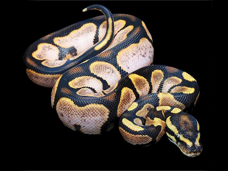 sugar morph list world of ball pythons