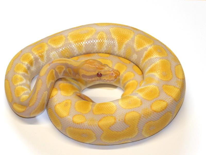 SunFire Albino