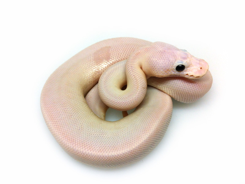 super cinnamon pied ball python wwwpixsharkcom
