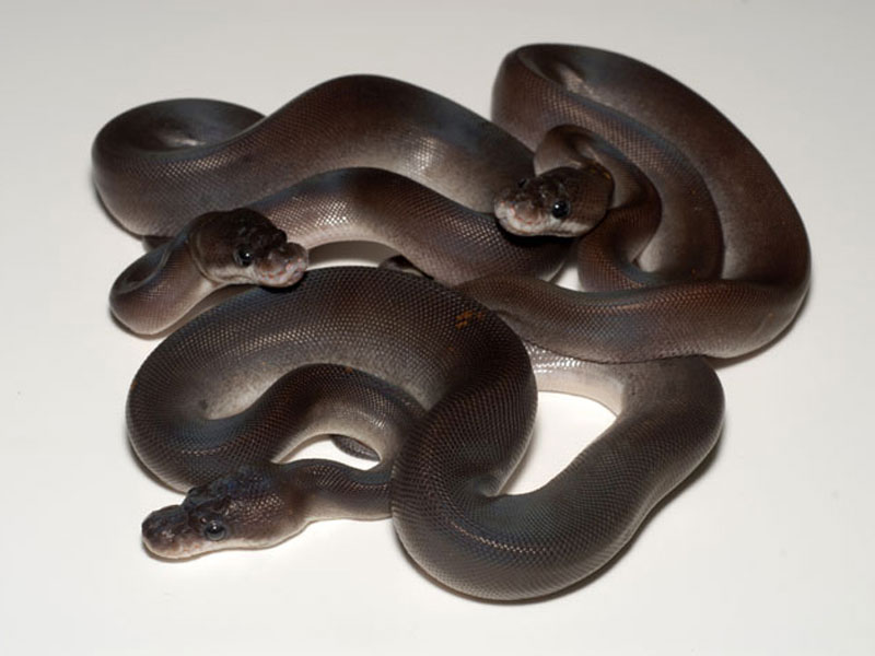 super cinnamon morph list world of ball pythons