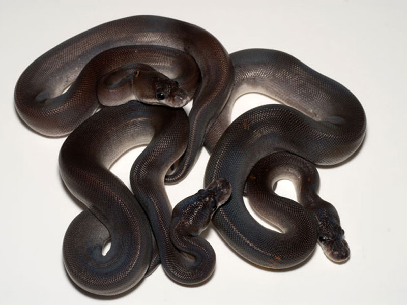 super cinnamon ball python related keywords super