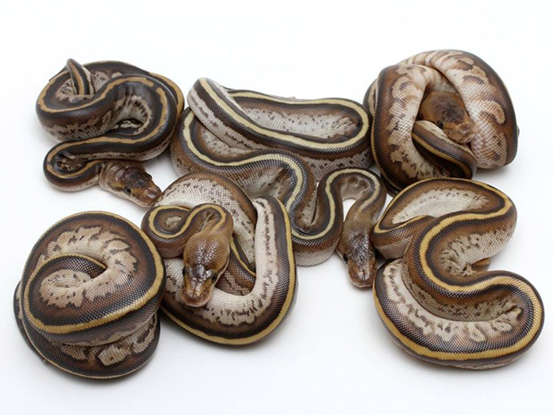 Super Cypress Morph List World Of Ball Pythons