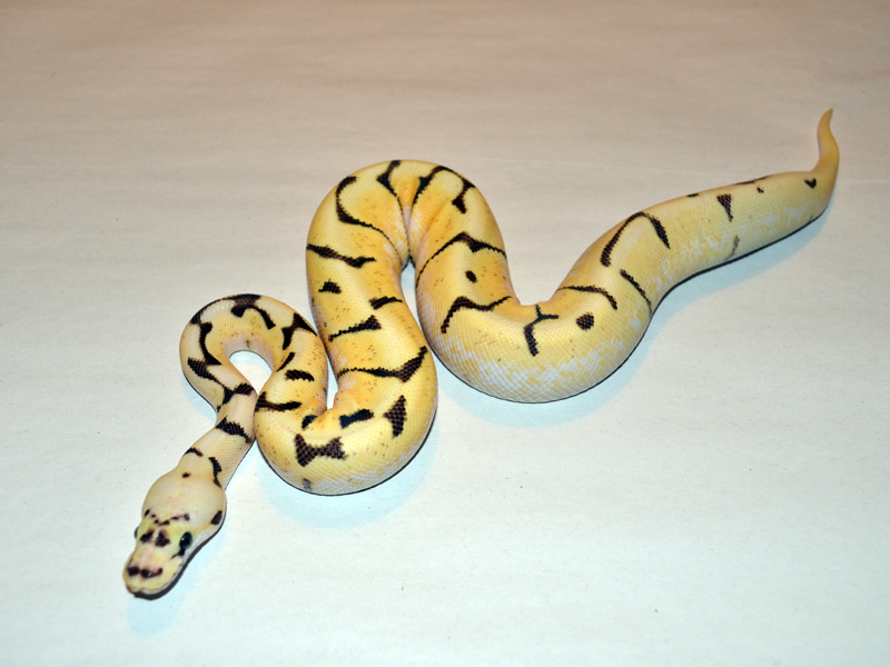 Super Enchi Fire Pastel Spider