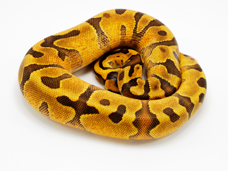 Super Enchi Yellow Belly