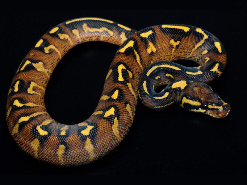 green anaconda morphs