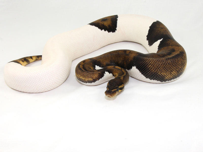 super java pied morph list world of ball pythons