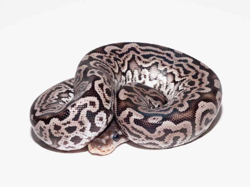 Assez Super Lori - Morph List - World of Ball Pythons MN97