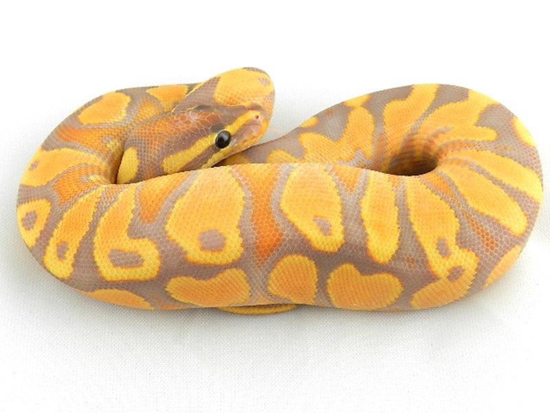 Chocolate Banana Ball Python