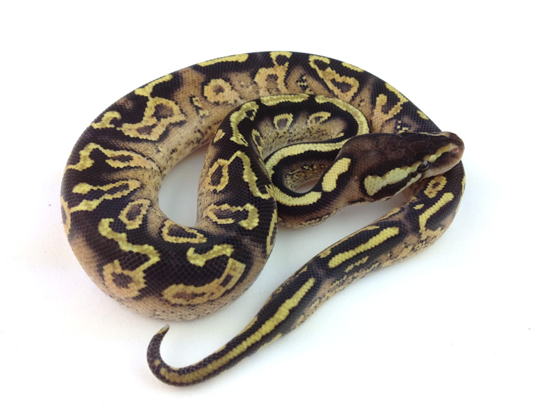 Super Paint Pastel Yellow Belly