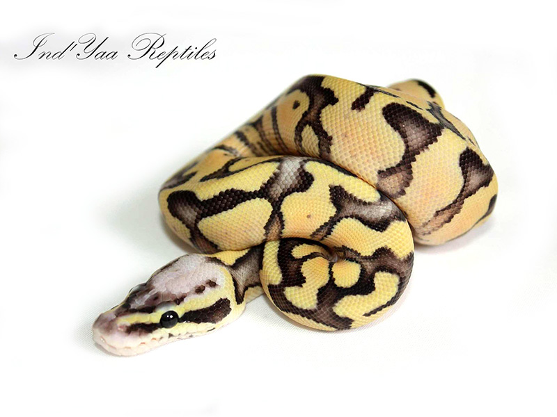 Super Pastel Enchi Fire