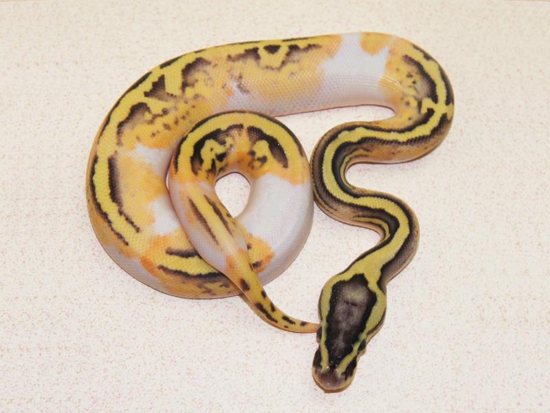 Super Pastel Enchi Pied