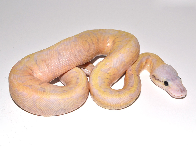 Super Pastel Fire Yellow Belly Pinstripe