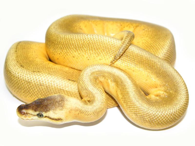 Super Pastel Genetic Stripe Pinstripe