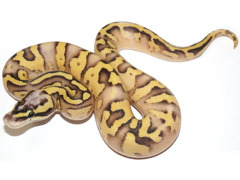 Super Pastel Lucifer Yellow Belly