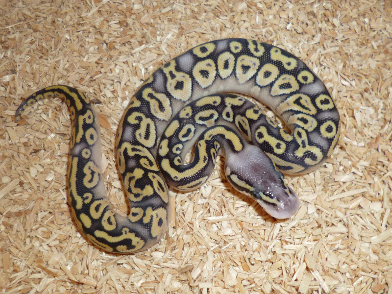 Super Pastel Phantom Yellow Belly